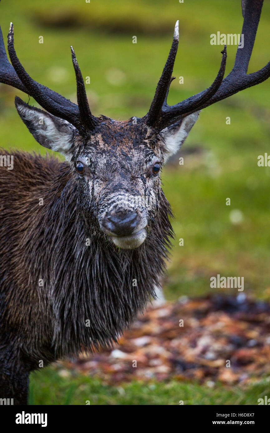 Red Deer Stag with odd expression looking at camera.. - Stock Image