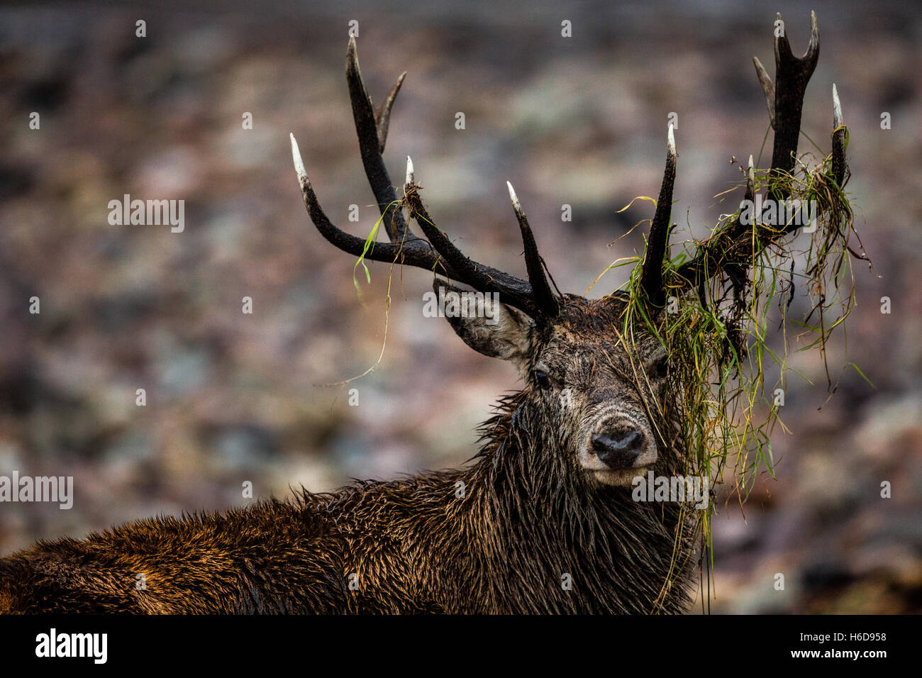 Red Deer Stag with debris hanging from antlers. - Stock Image