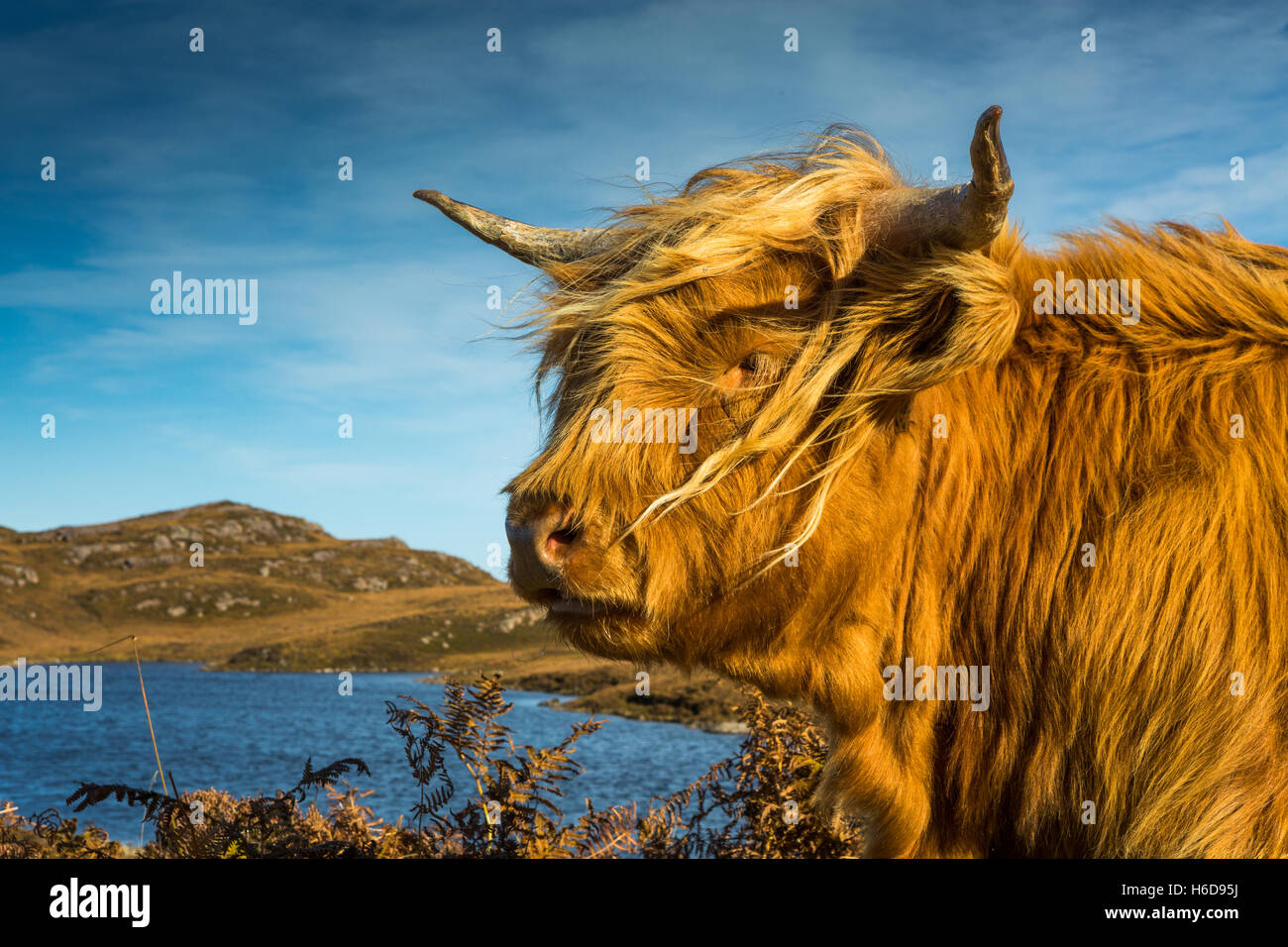 Highland cow with small loch in background. - Stock Image