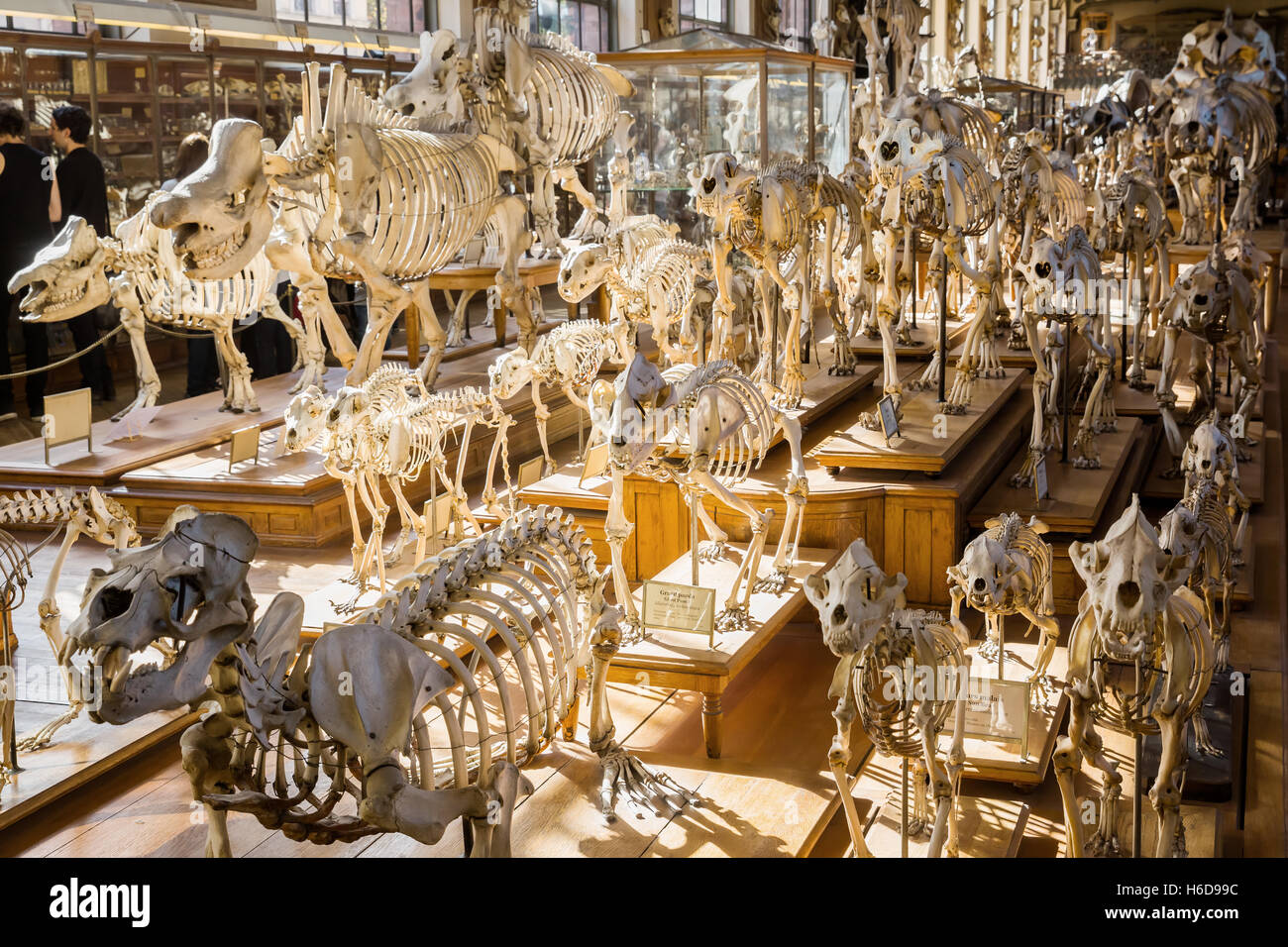 skeletons of animals in the Gallery of Palaeontology and Comparative Anatomy in Paris, France - Stock Image