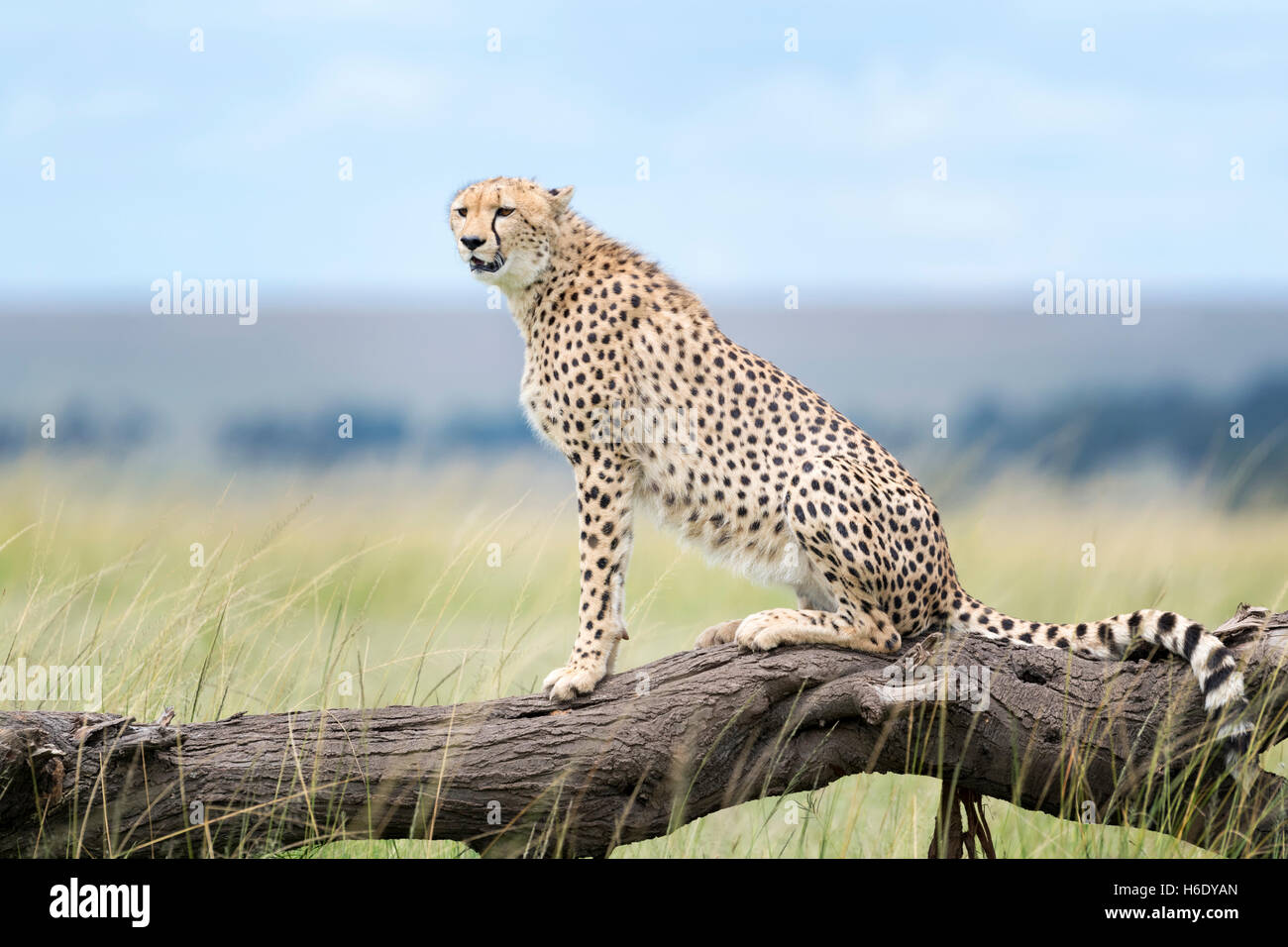 Cheetah (Acinonix jubatus) sitting on fallen tree, Maasai Mara National Reserve, Kenya - Stock Image