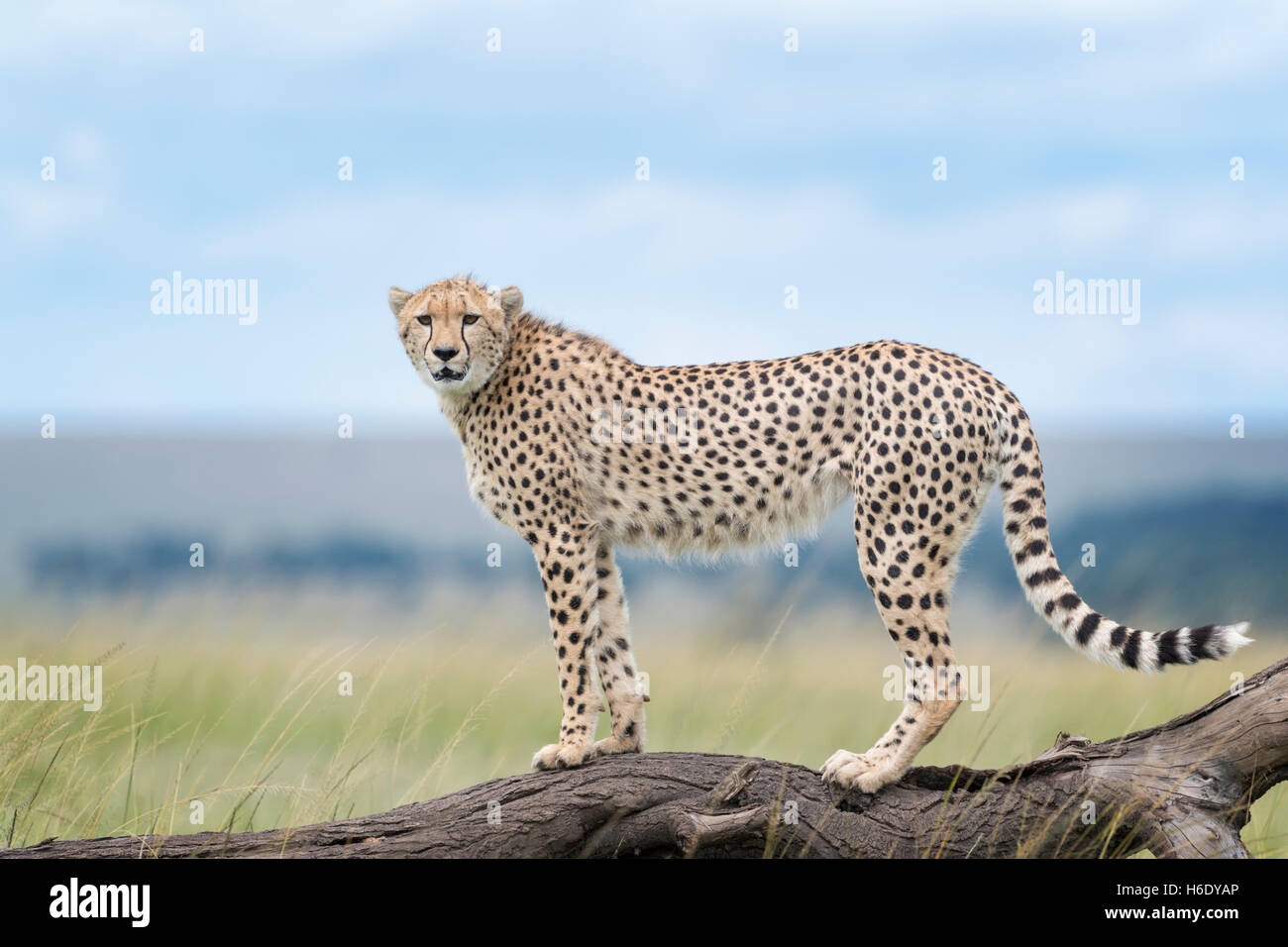 Cheetah (Acinonix jubatus) standing on fallen tree, Maasai Mara National Reserve, Kenya - Stock Image