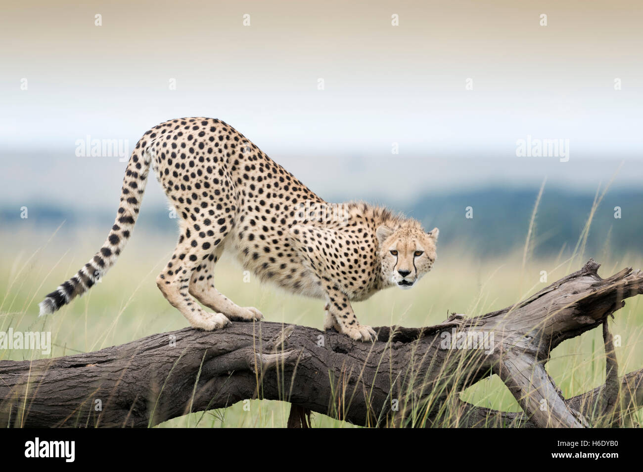 Cheetah (Acinonix jubatus) on fallen tree, Maasai Mara National Reserve, Kenya - Stock Image
