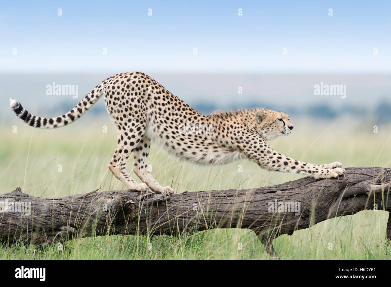 Cheetah (Acinonix jubatus) stretching on fallen tree, Maasai Mara National Reserve, Kenya - Stock Image