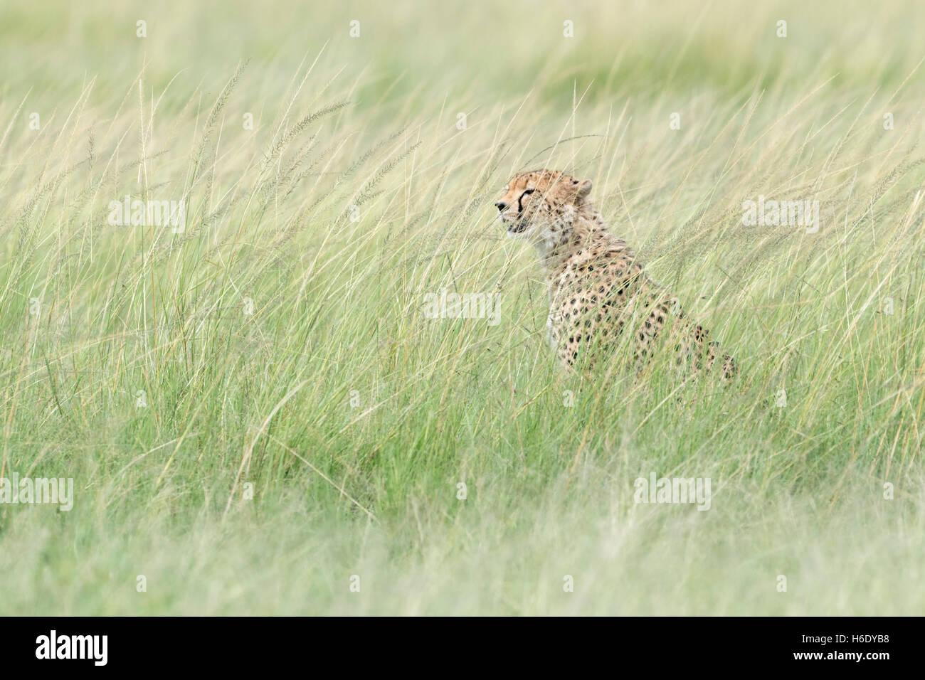 Cheetah (Acinonix jubatus) sitting hiding in grass, looking for prey, Maasai Mara National Reserve, Kenya - Stock Image
