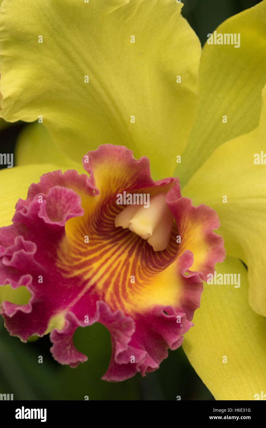 A beautiful yellow and red orchid close-up. Orchidaceae are a diverse and widespread family of flowering plants - Stock Image