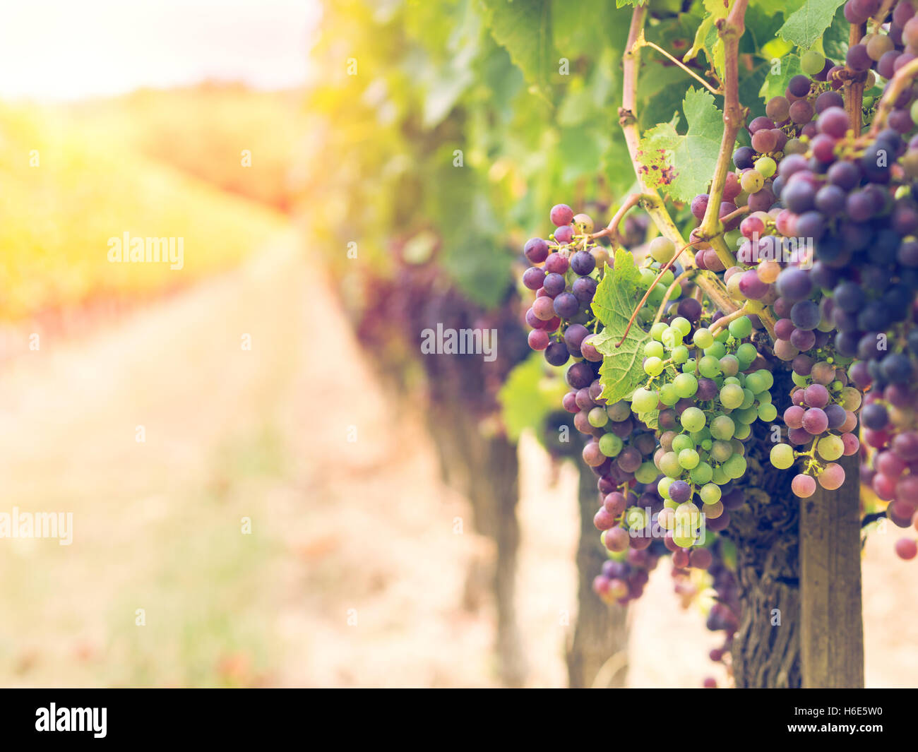 Bunches of cabernet sauvignon grapes growing in a vineyard in Bordeaux region, France. - Stock Image