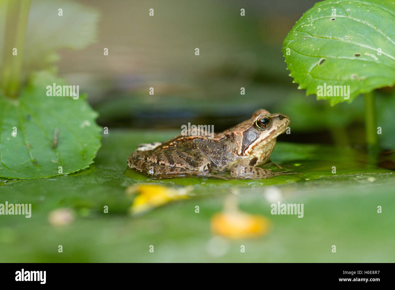 common European frog on a lily pad - Stock Image
