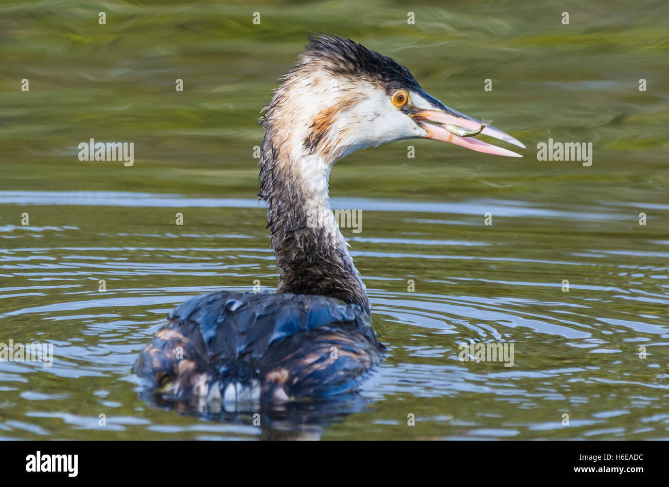 Great crested grebe (Podiceps cristatus) in non-breeding plumage with a fish on it's mouth, swimming in water - Stock Image