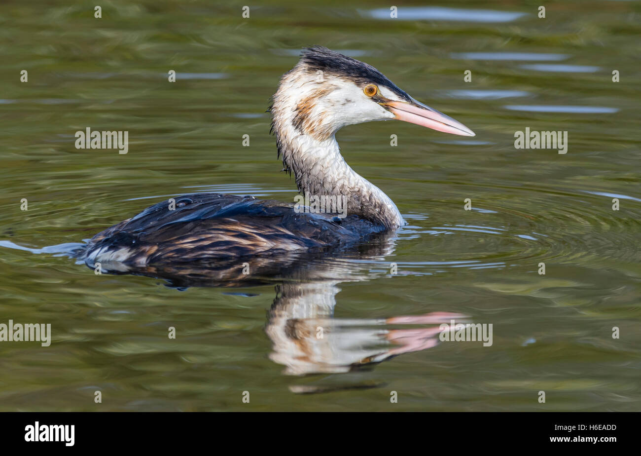 Great crested grebe (Podiceps cristatus) in non-breeding plumage, swimming in water in West Sussex, England, UK. - Stock Image