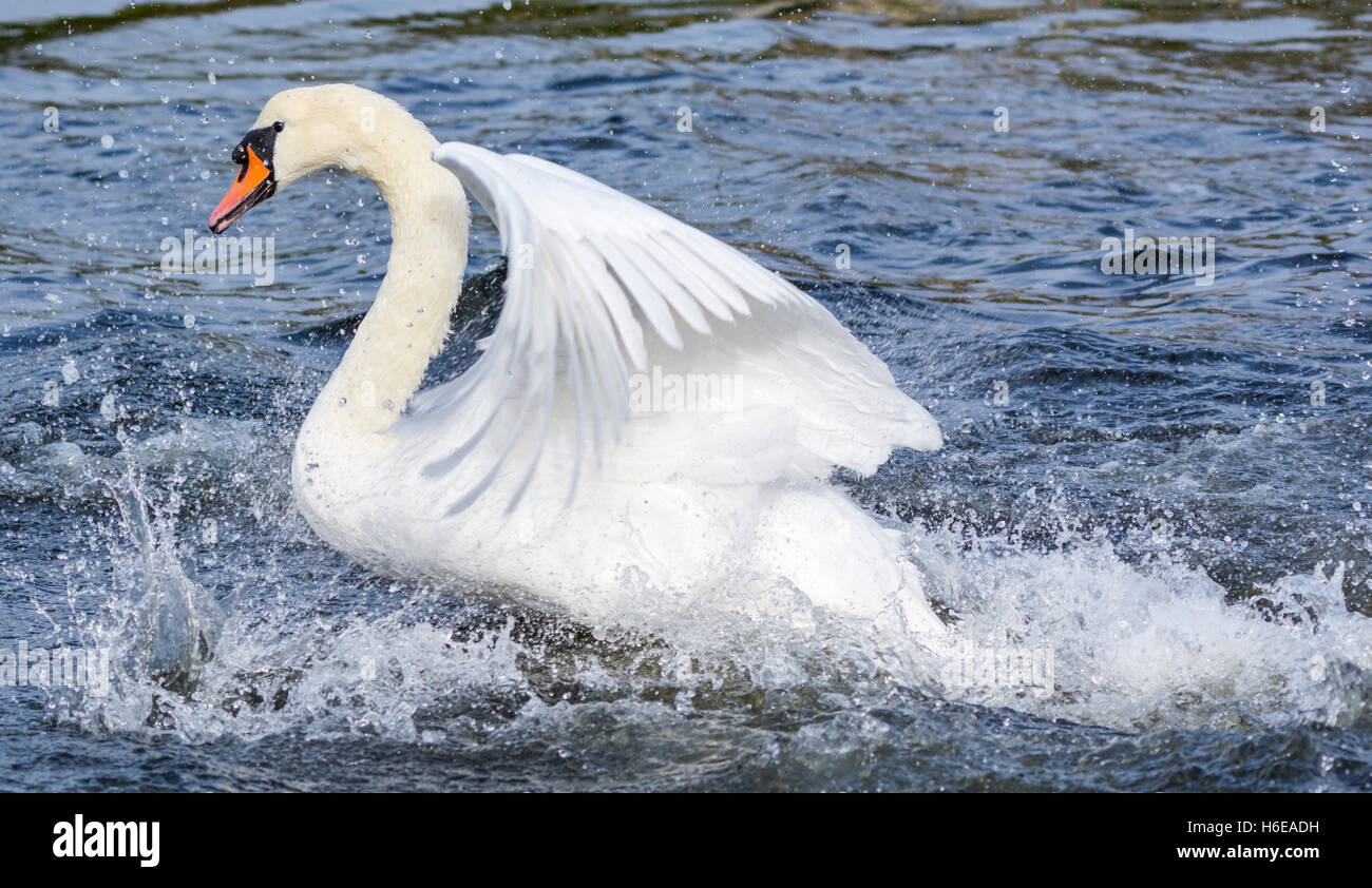 White Mute Swan (Cygnus olor) taking off from water in the UK. - Stock Image