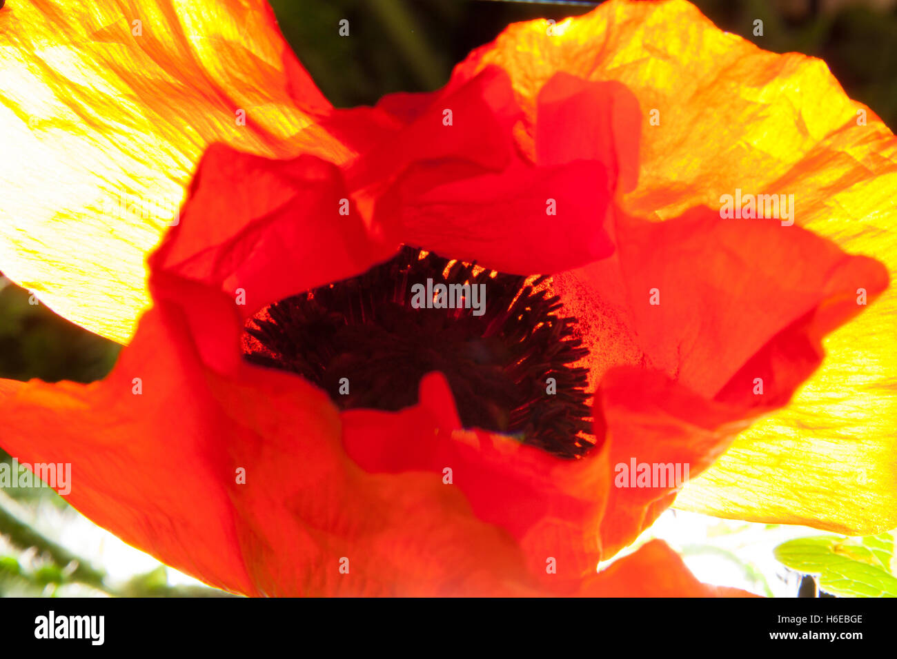 Abstract photograph of a poppy flower, Papaveroideae of the family Papaveraceae, strong back lighting, orange yellow - Stock Image