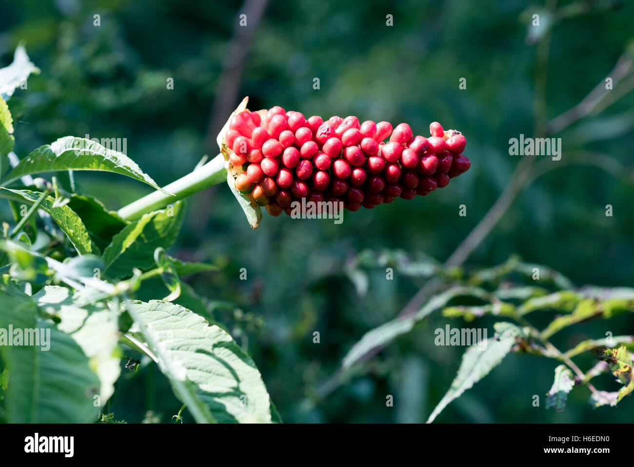 "Himalayan wild fruit ""Spadoo"" that causes swelling of mouth. - Stock Image"