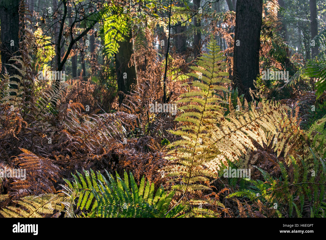 Bracken / eagle fern fronds (Pteridium aquilinum) in autumn colours in forest - Stock Image