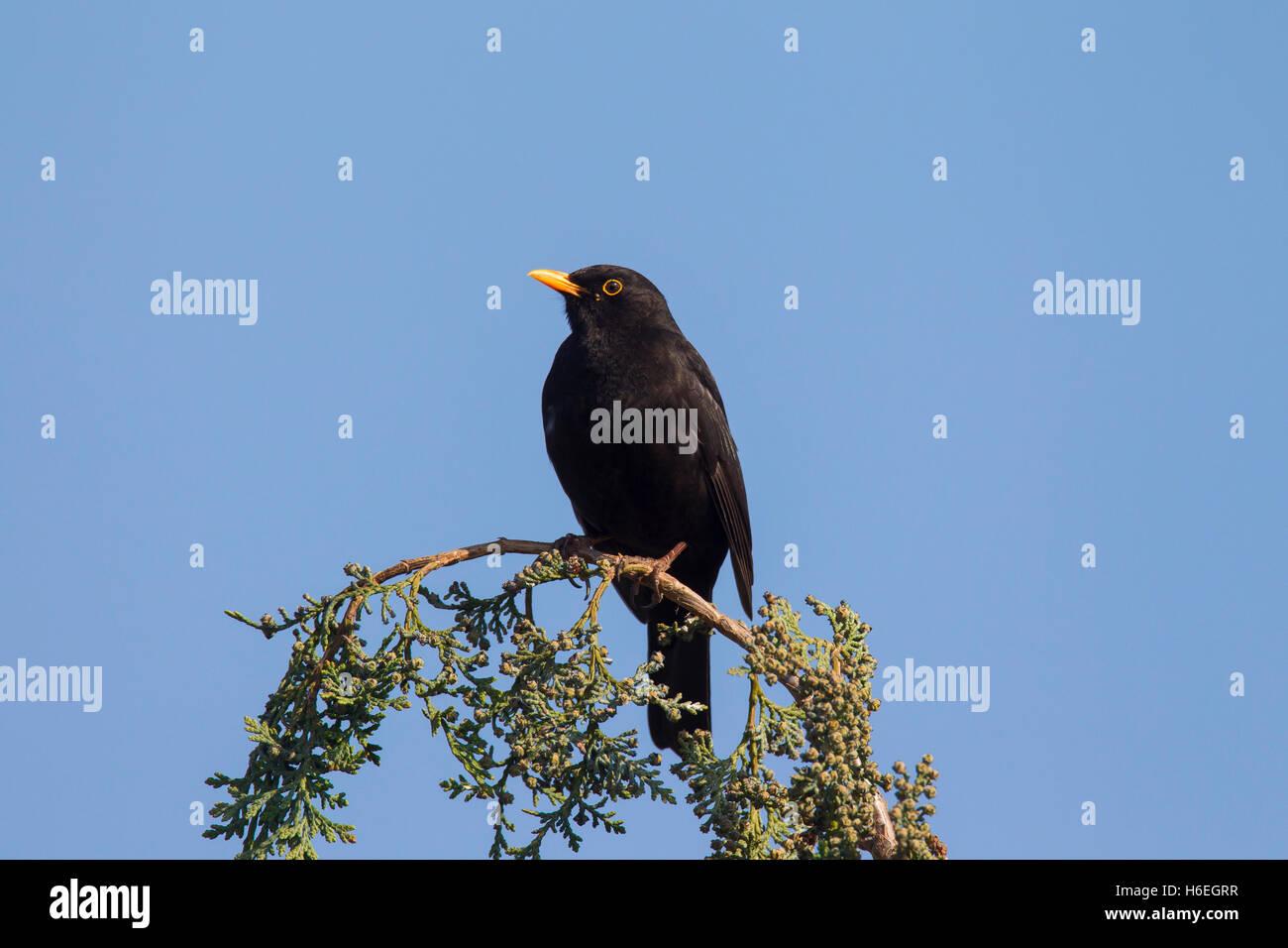 Common blackbird (Turdus merula) male perched in tree - Stock Image