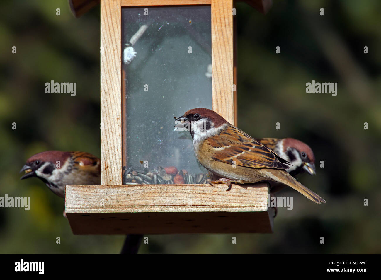 Eurasian tree sparrows (Passer montanus) feeding on peanuts and seeds from bird feeder in the snow in winter - Stock Image