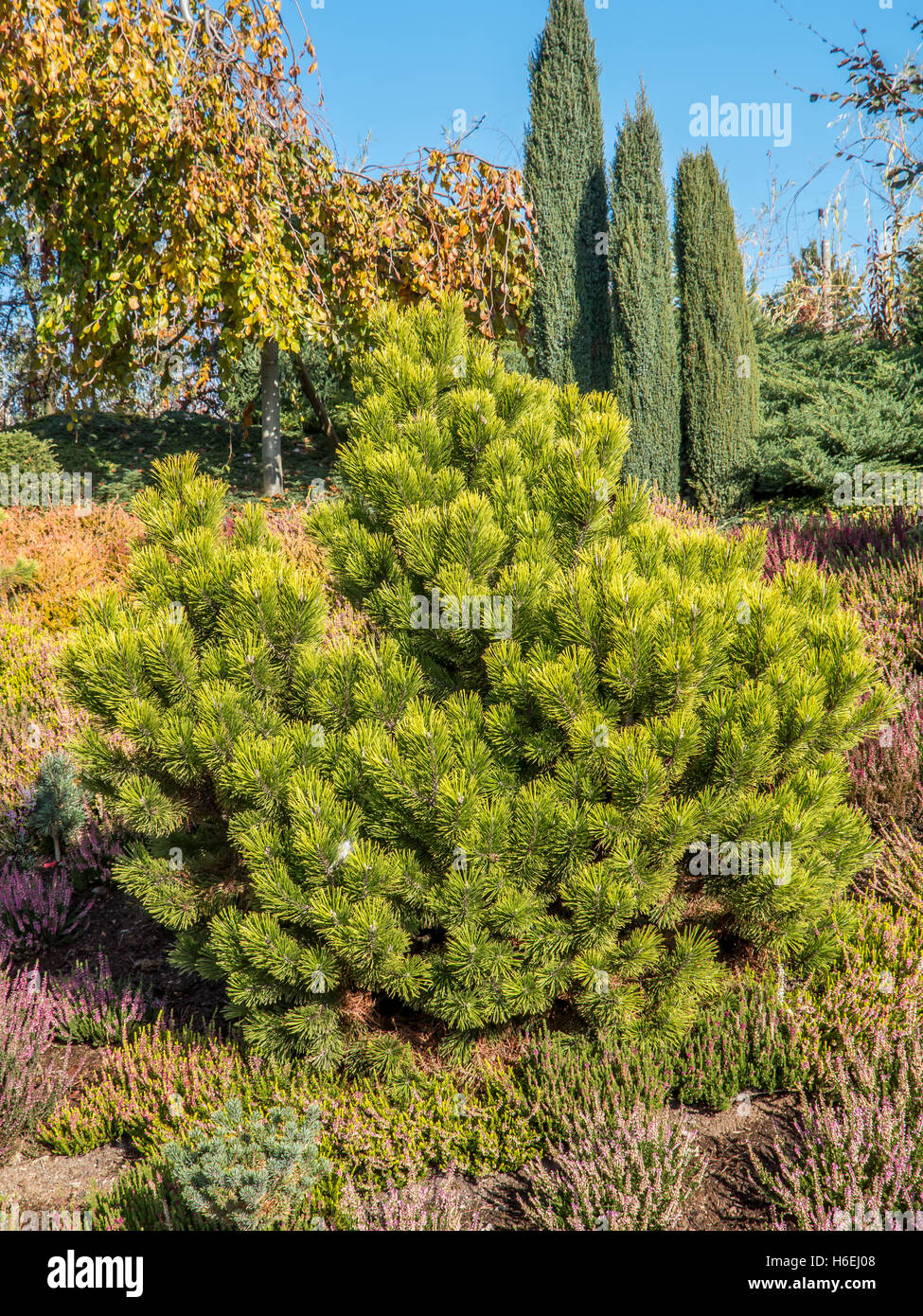 Pumilio mountain pine: planting and care, features of growing and breeding 5