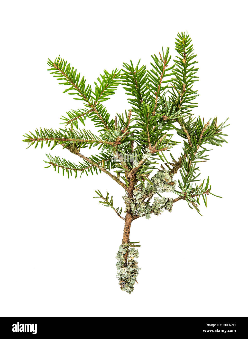 Pine sprig. Fresh green fir branches. Christmas tree isolated on white background. - Stock Image