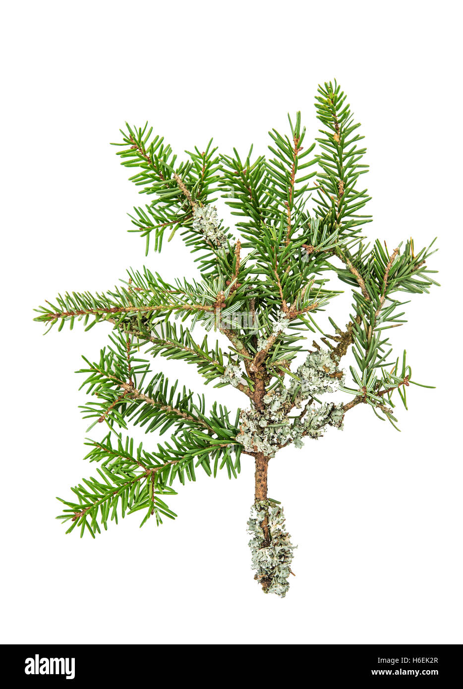 Pine sprig. Fresh green fir. Christmas tree branches isolated on white background - Stock Image
