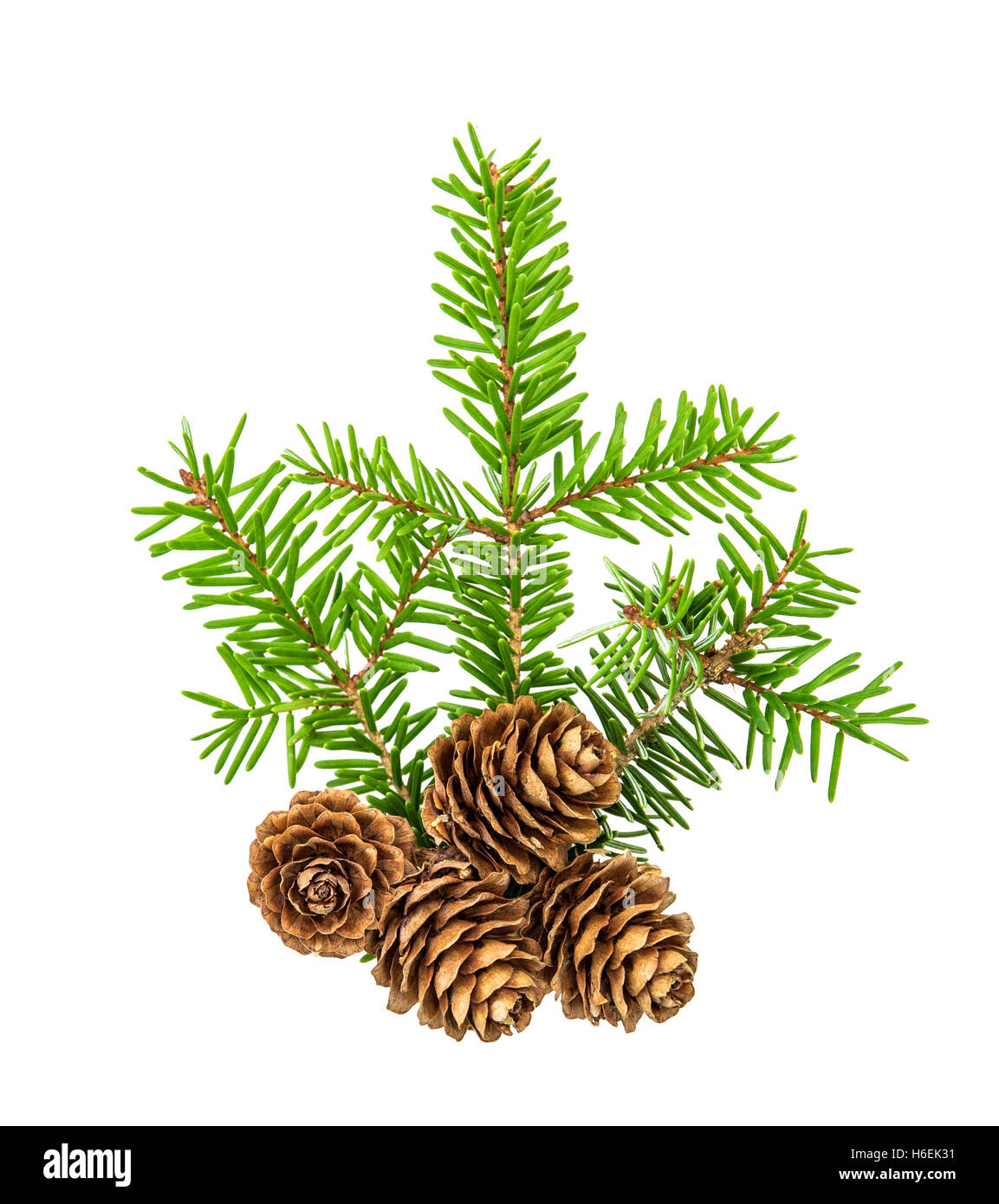 Christmas tree branches isolated on white background. Pine sprig with spruces. Fresh green fir - Stock Image