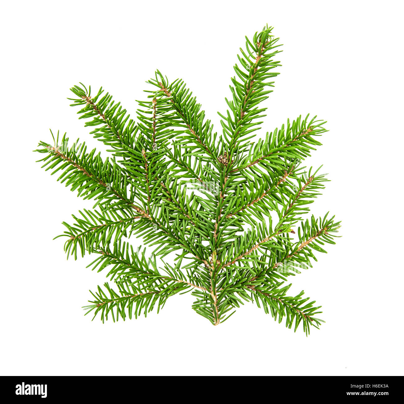 Christmas tree branches isolated on white background. Pine sprig. Fresh green fir - Stock Image