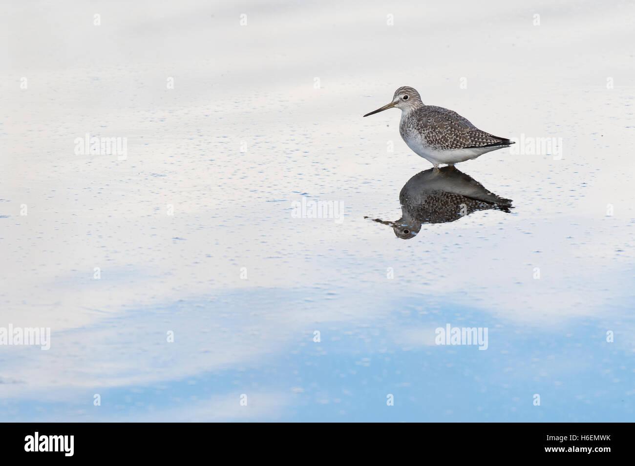 Sandpiper, sandpipers, Tringa melanoleuca, greater yellow legs, bird, shorebird feeding in pond in Washington state, - Stock Image