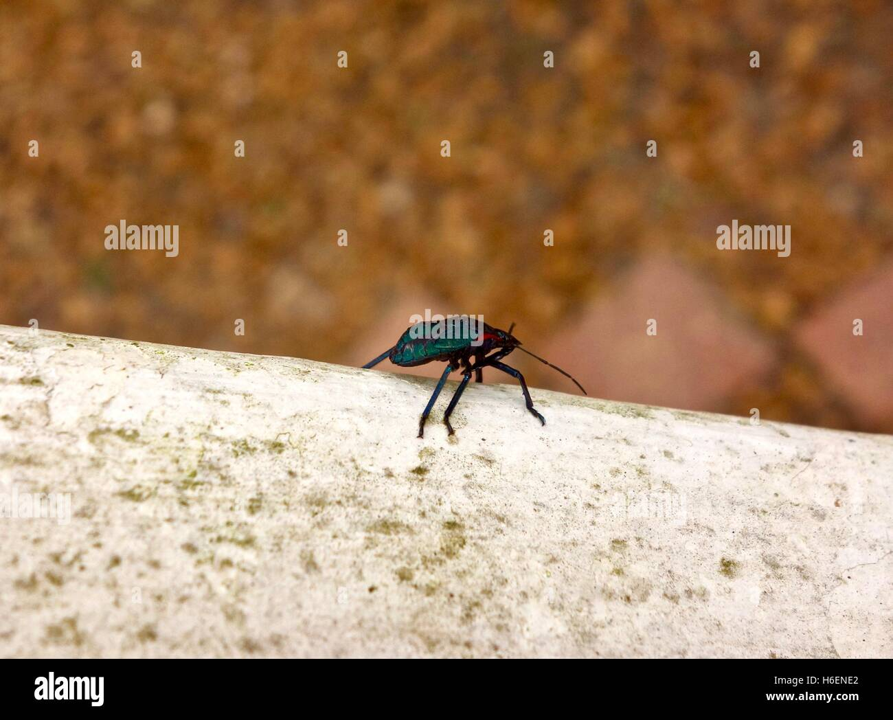 Close up of a cyan colored beetle on a hand rail. - Stock Image