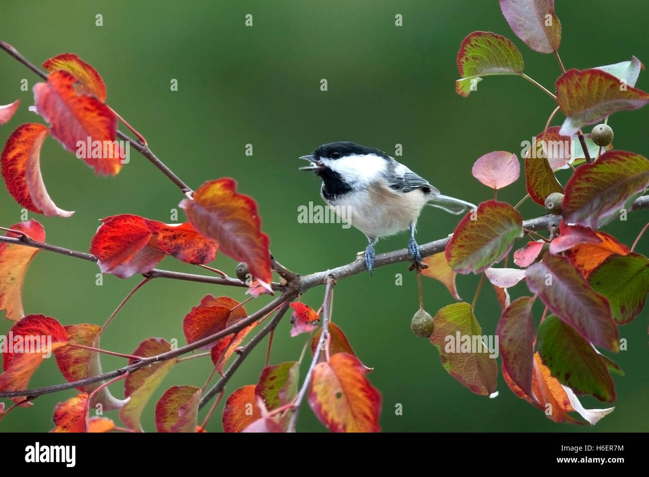 Chickadee chirps while perched on branch with autumn leaves - Stock Image