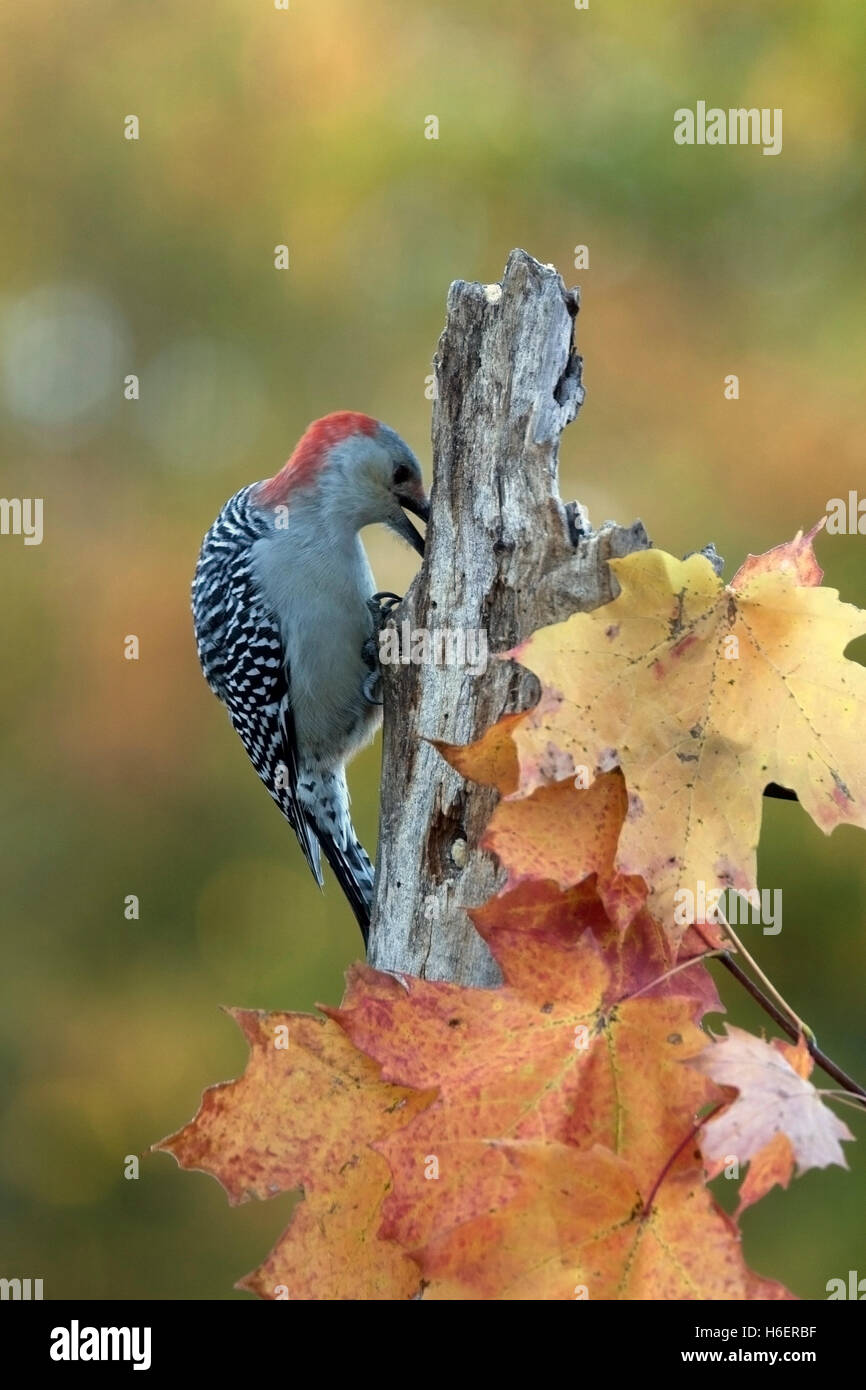 Red bellied woodpecker searches for food on weathered post in autumn - Stock Image