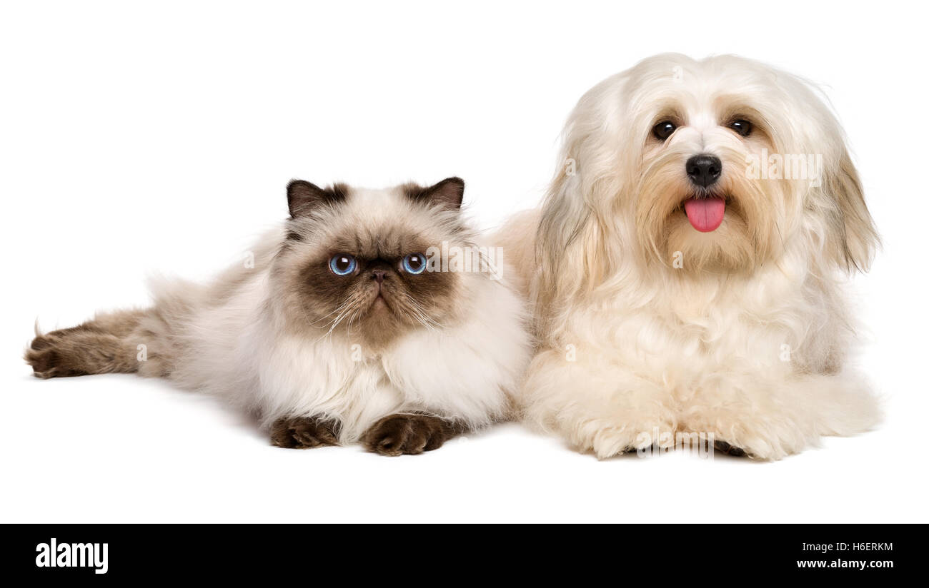 Happy havanese dog and a young persian cat lying together - Stock Image