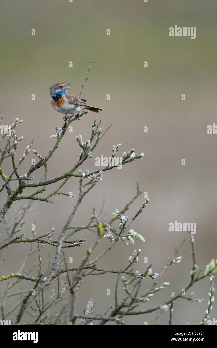 White Spotted Bluethroat Luscinia Svecica Singing Its Song Sitting Form The Top Of