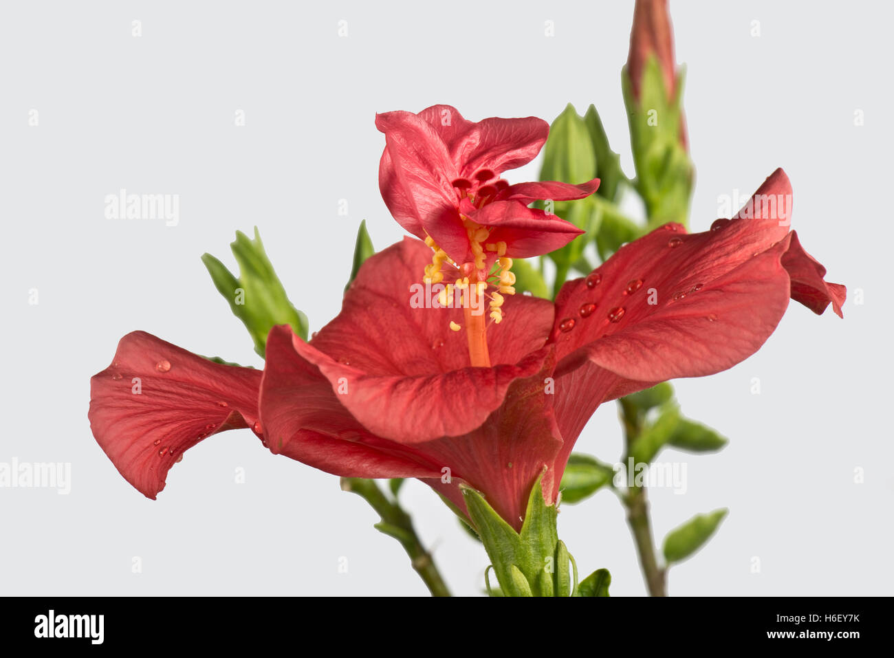 Deformed petals stock photos deformed petals stock images alamy a flower of hibiscus rosa sinensis where the style has developed petal like structures between izmirmasajfo