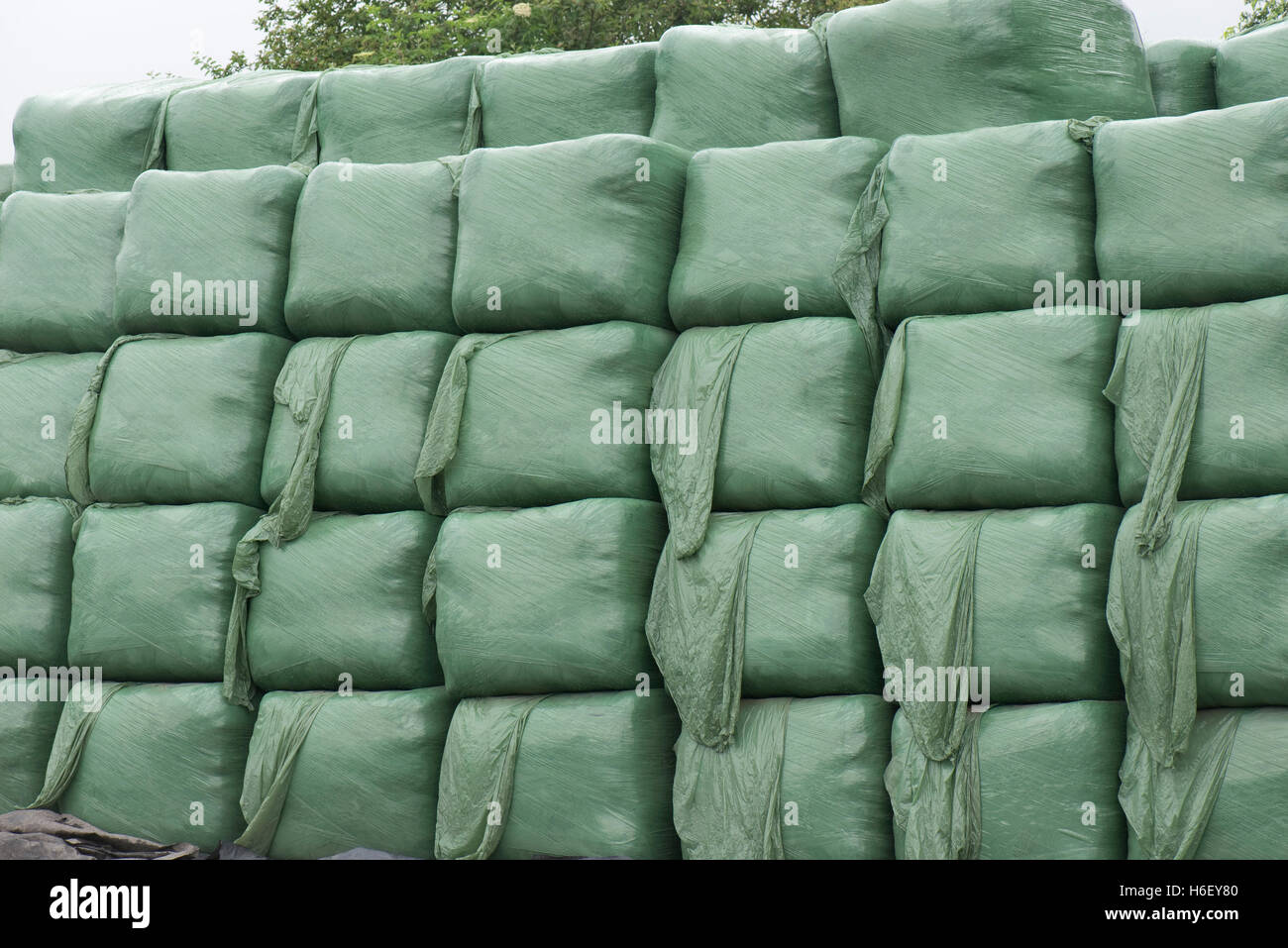 Square plastic wrapped bags of silage for livestock winter feed, Hampshire, June - Stock Image