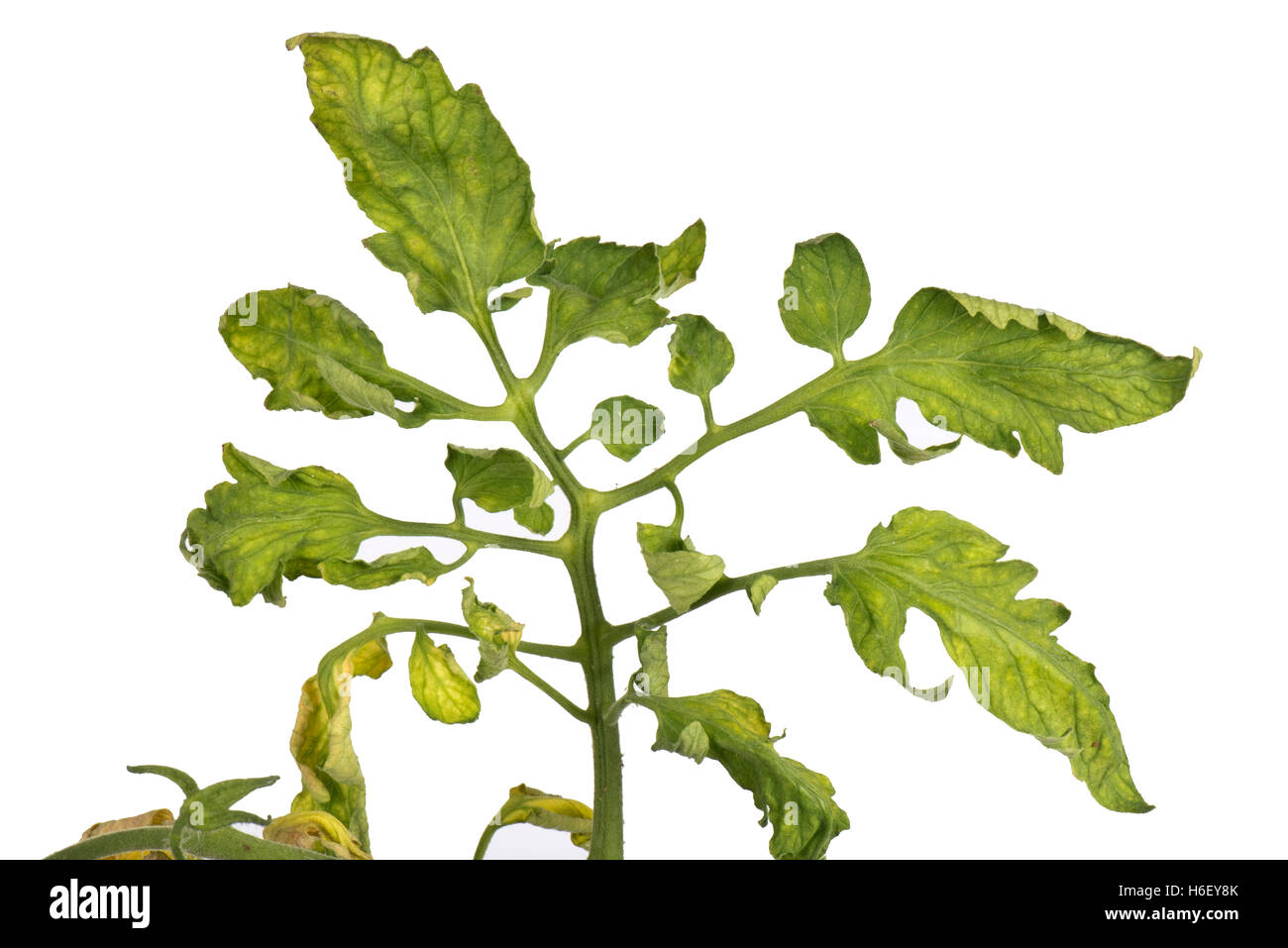 Tomato fern-leaf a symptom of TMV, CMV or PepMV virus on tomato plants - Stock Image