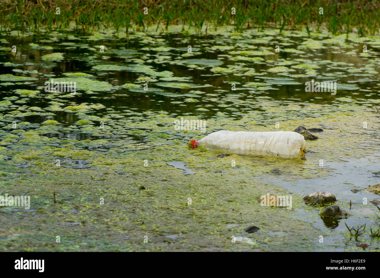 River pollution, plastic bottle floating in between duckweed, Spain. - Stock Image