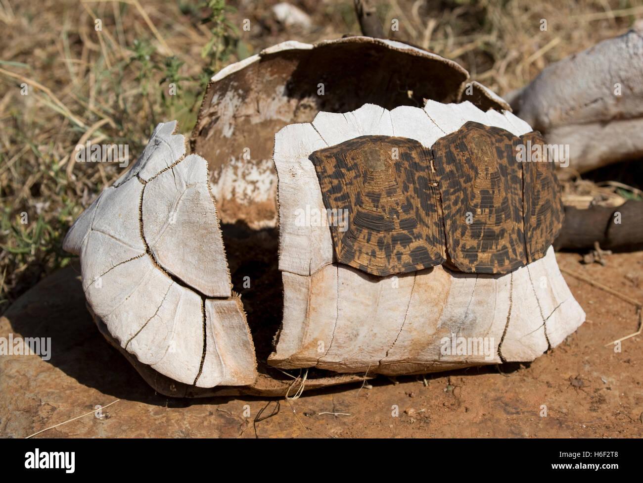 Bony carapace of tortoise shell with some keratin scutes remaining Laikipa Kenya - Stock Image