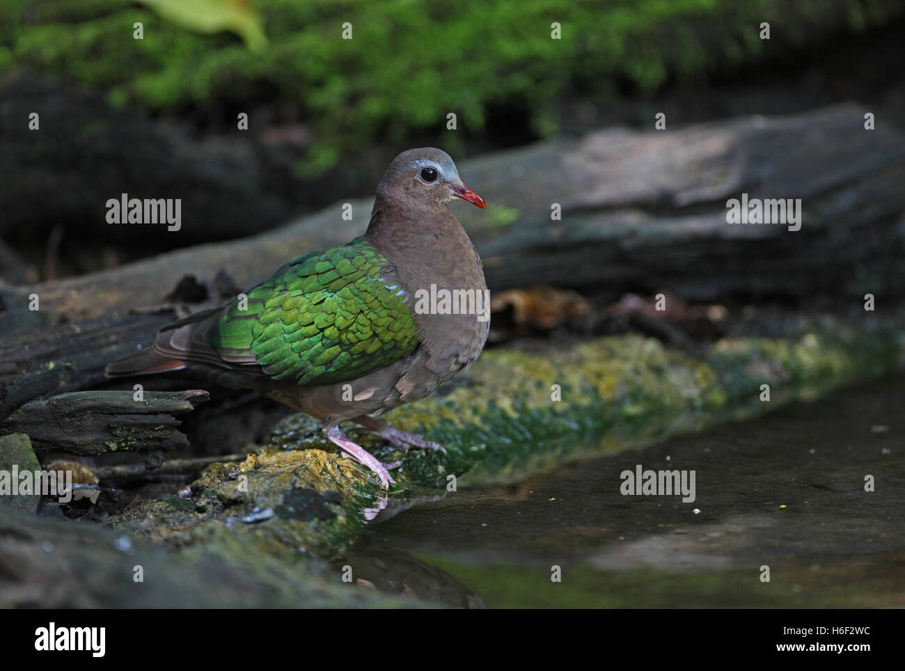 Emerald Dove (Chalcophaps indica indica) adult male standing by forest pool  near Kaeng Krachen NP, Thailand    Stock Photo