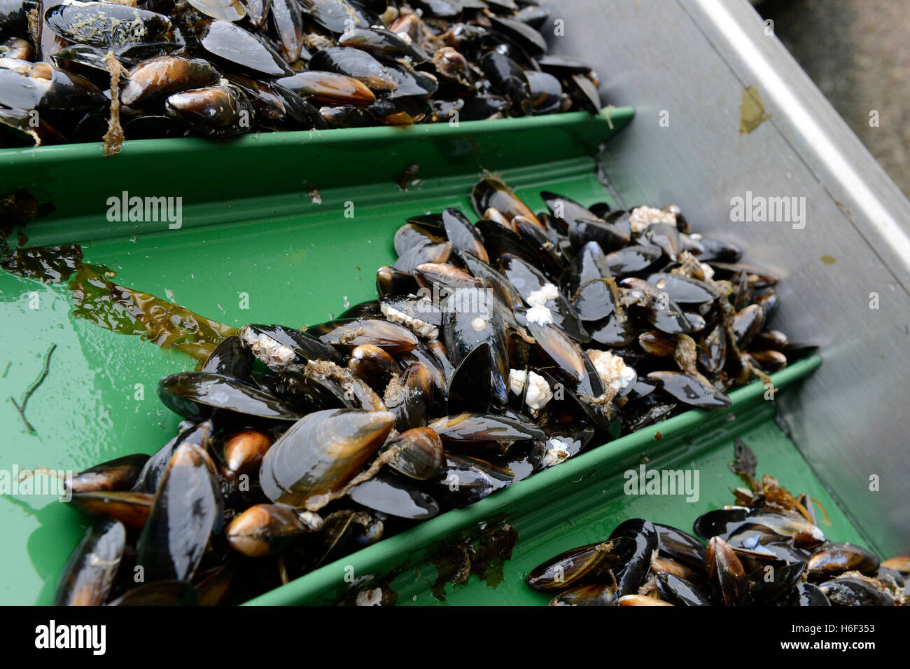Sea grown mussels grown of the west side of Shetland Scotland being harvested for packing. - Stock Image