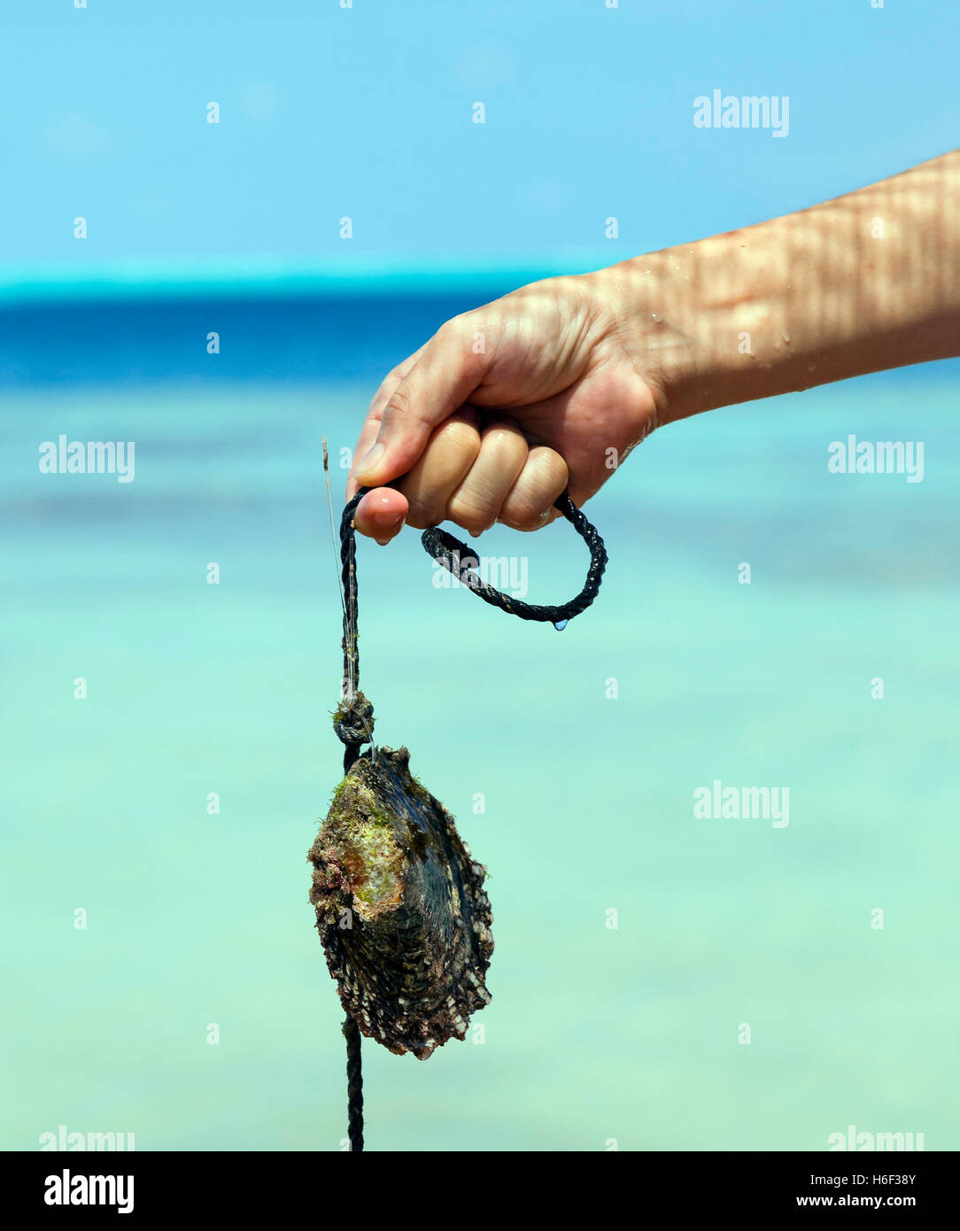 Pearl oyster, South Sea - Stock Image