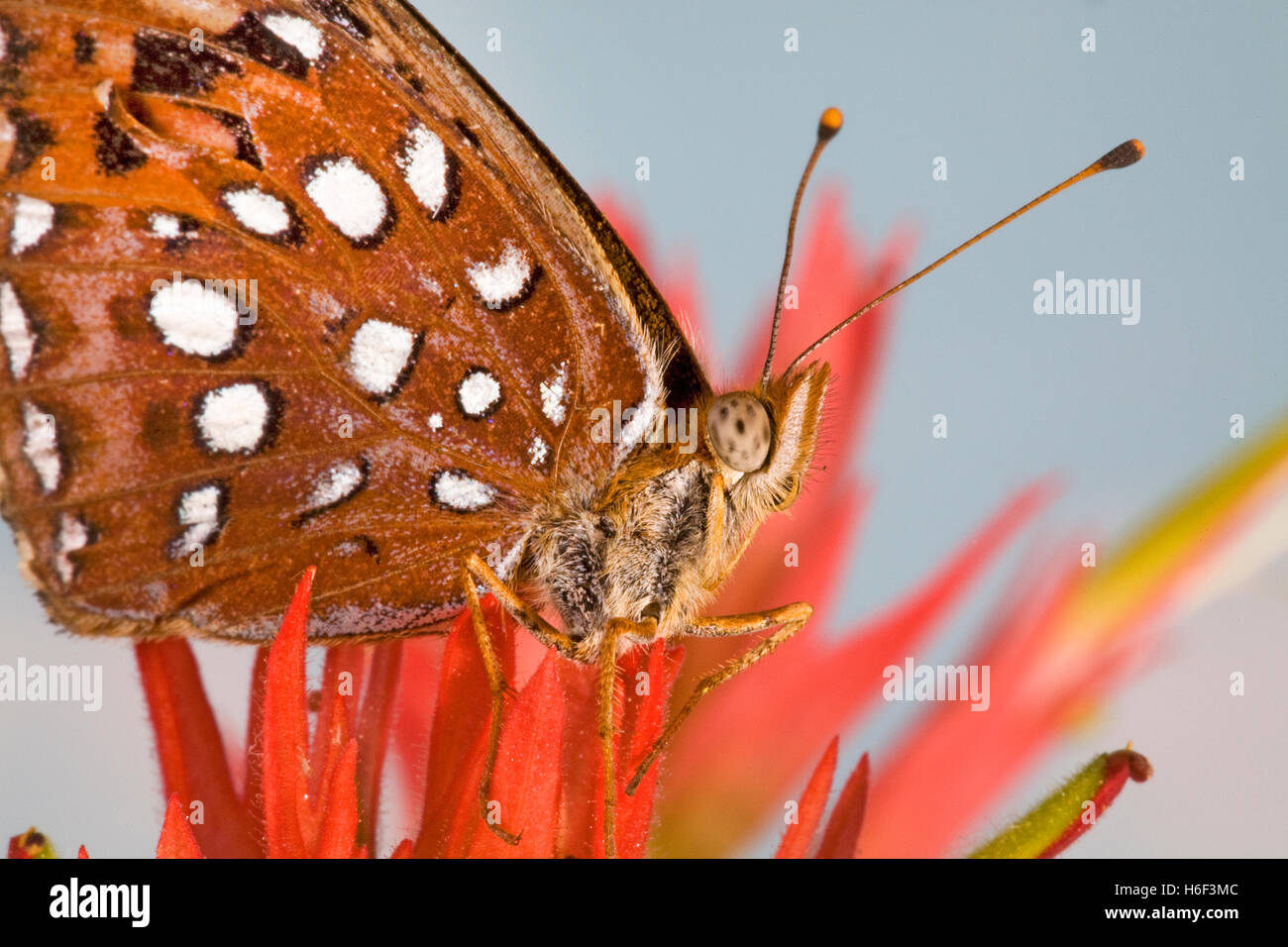 A fritillary butterfly looking for nectar in an Indian paintbrush wildflower along the upper Deschutes River in - Stock Image