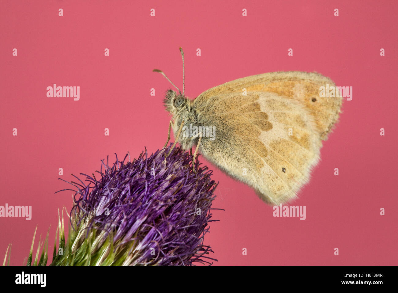 A dainty sulphur butterfly, Nathalis iole, also known as a dwarf yellow butterfly on a thistle - Stock Image