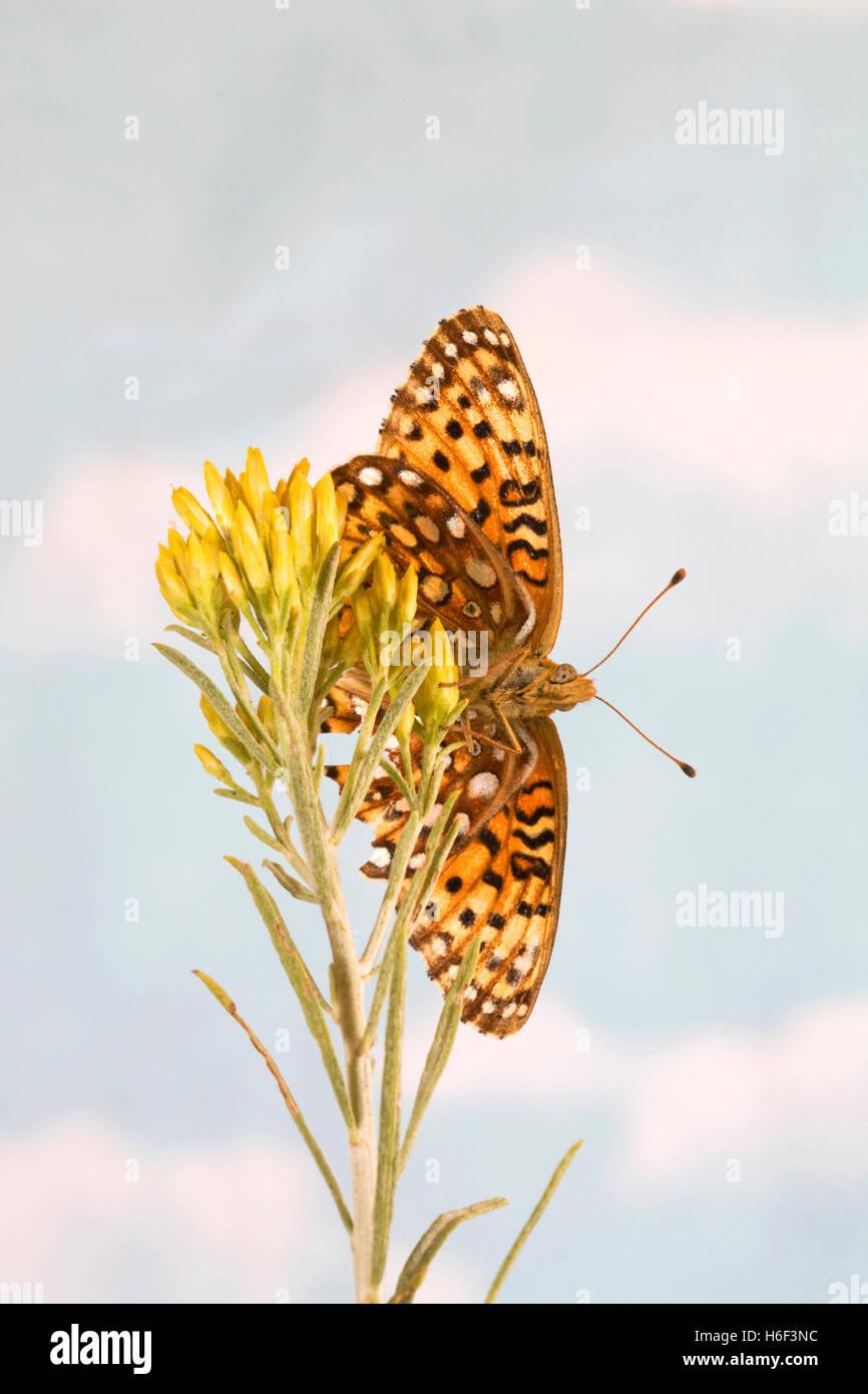 An Atlantis fritillary, Speyeria atlantis, butterfly, - Stock Image
