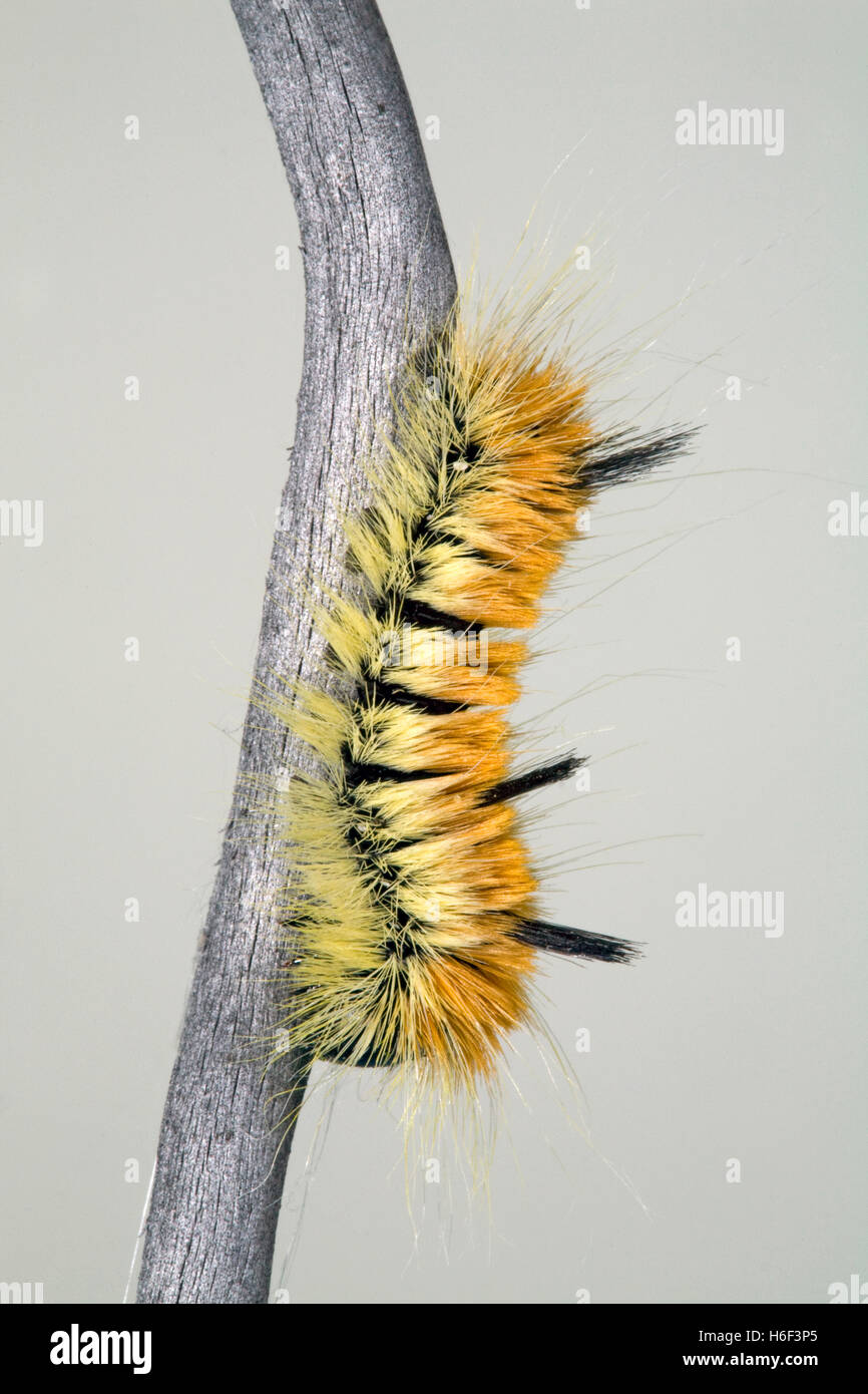 The caterpillar of the fingered dagger moth or alder dagger (Acronicta dactylina). It feeds on the leaves of alder Stock Photo