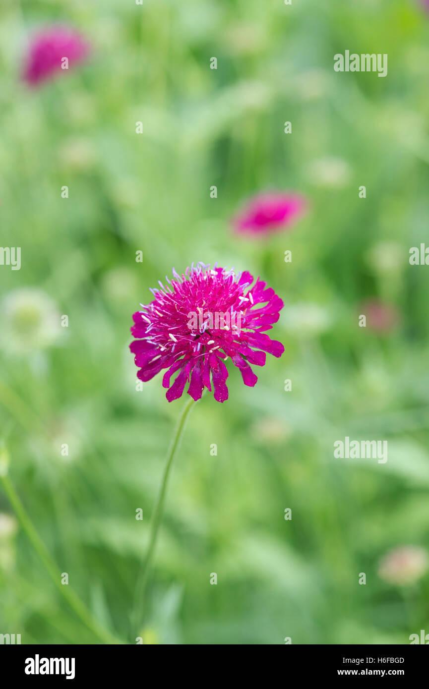 Knautia Macedonica. Macedonian scabious wildflower - Stock Image