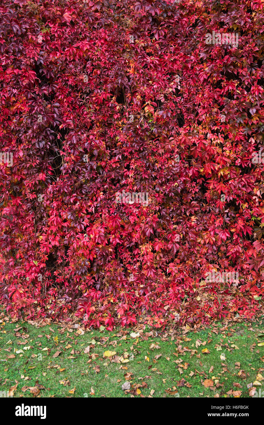 Parthenocissus quinquefolia. Virginia Creeper / American ivy in Rousham House walled garden in autumn. Oxfordshire, - Stock Image