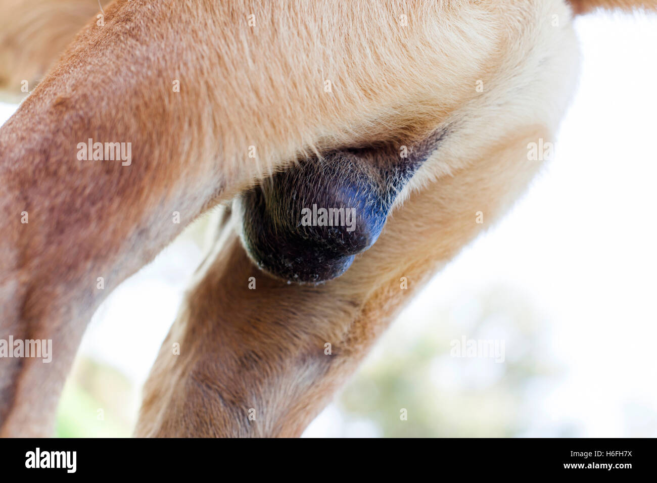 Testicles Stock Photos Testicles Stock Images Alamy