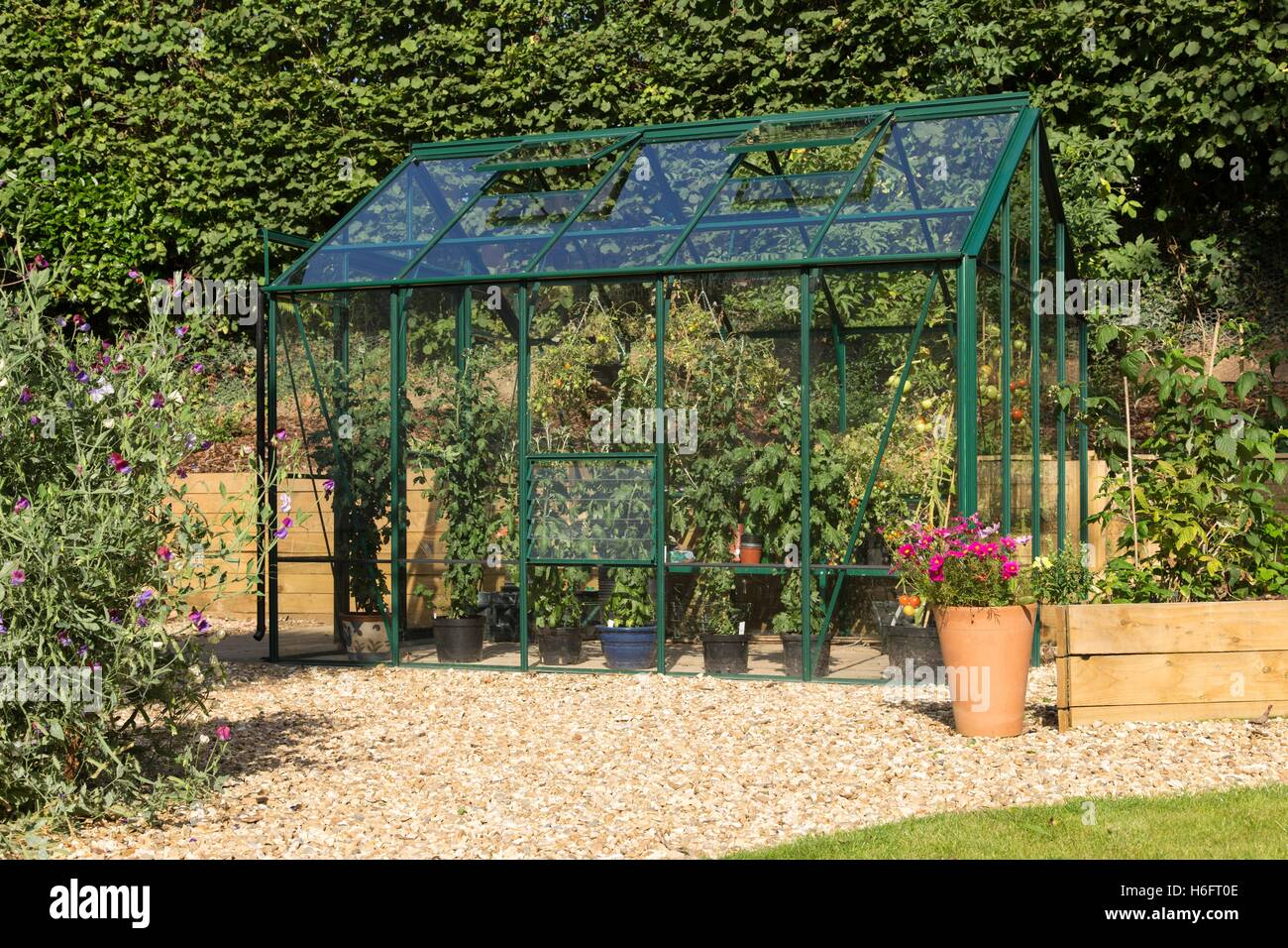 A green metal greenhouse, vented roof windows, sliding doors and garden seat,  growing tomatoes and chrysanthemums Stock Photo