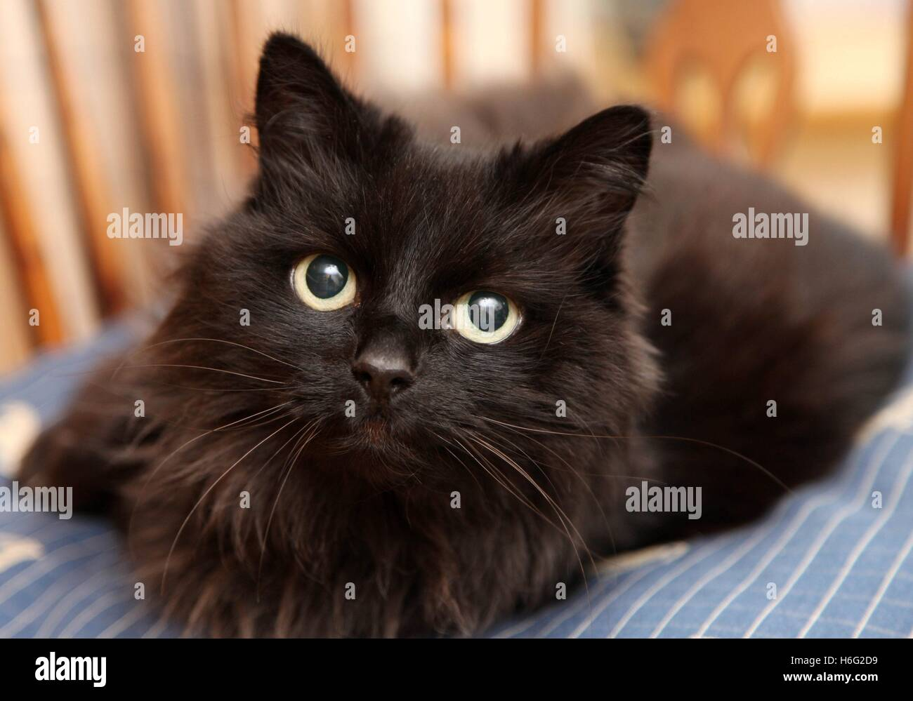 Tight head shot of a long haired black cat on blue cushion, looking straight to camera, yellow eyes - Stock Image