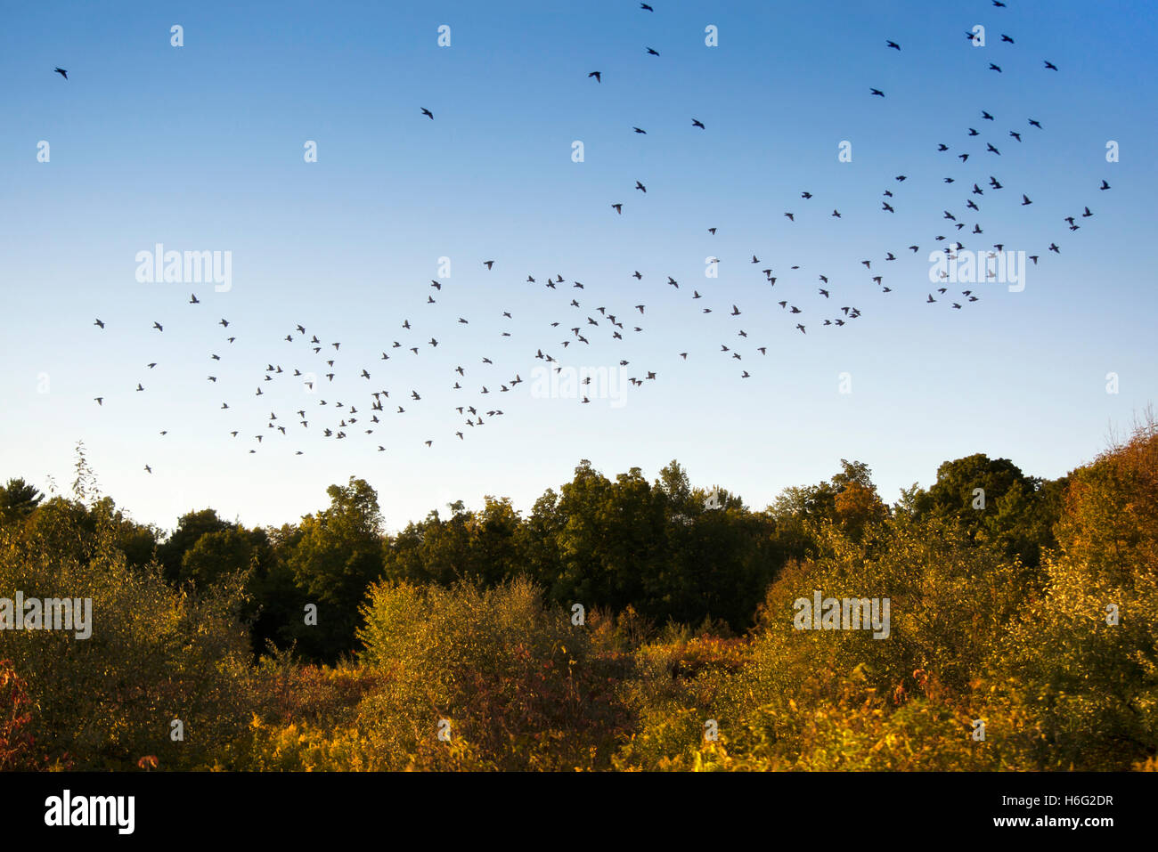 Flock of birds flying across blue sky - Stock Image