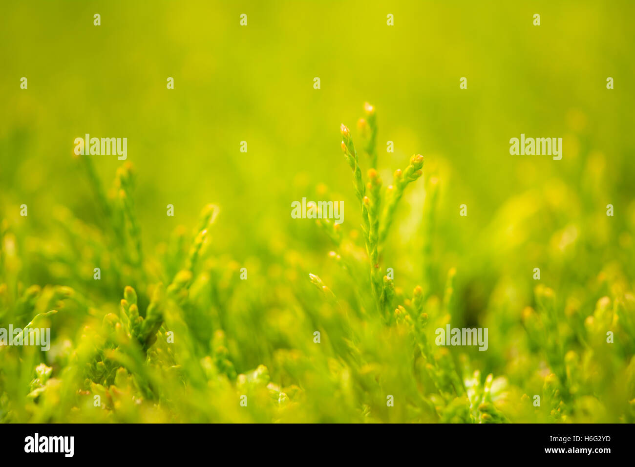 Abstract macro background of a thuja hedge with selective focus - Stock Image